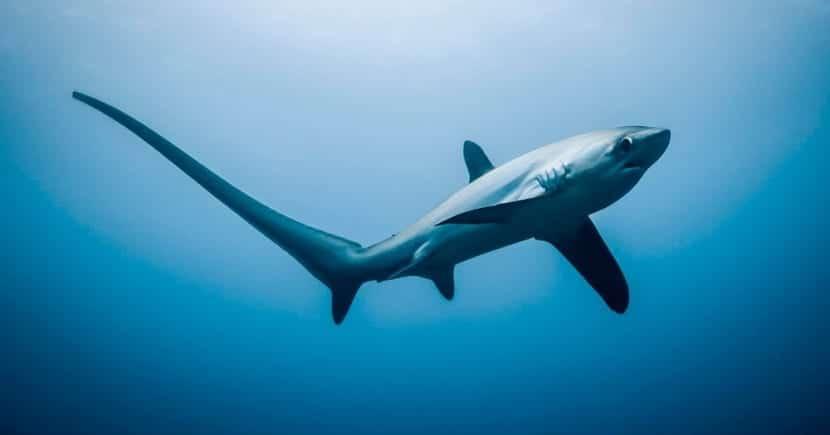 Características del tiburón zorro