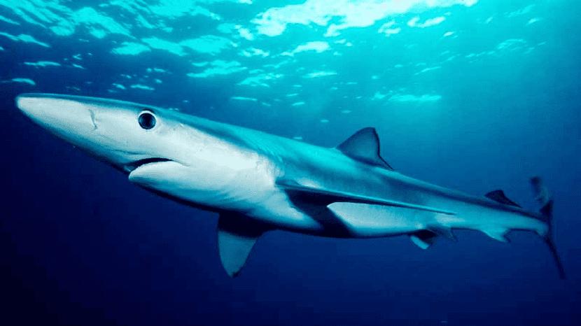Características del tiburon azul