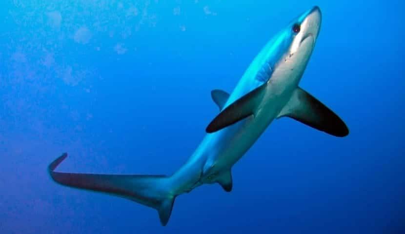 tiburón zorro nadando