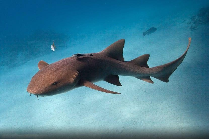 tiburon de caza