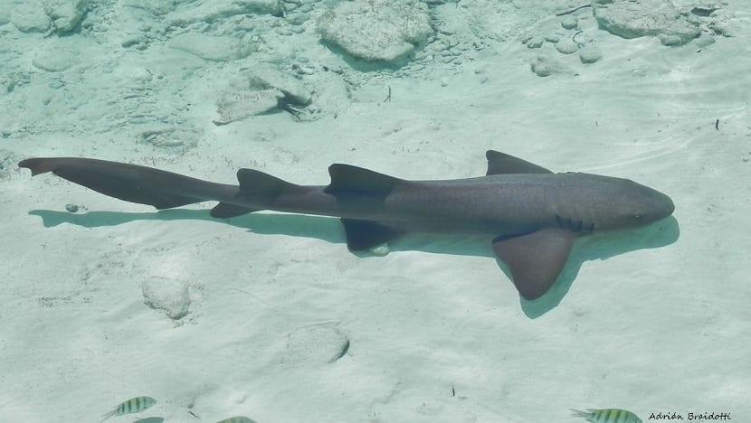 tiburon nodriza nadando