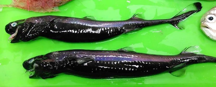 Ejemplares de tiburón víbora