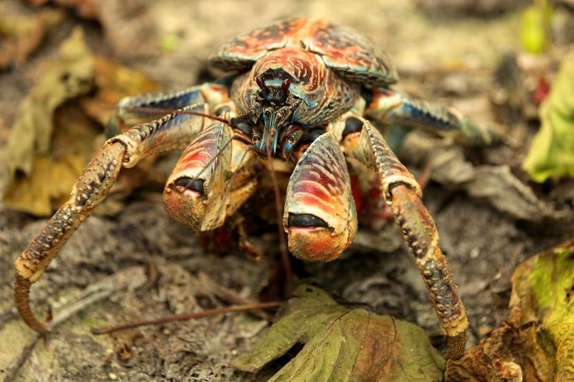 Fuerza del cangrejo cocotero