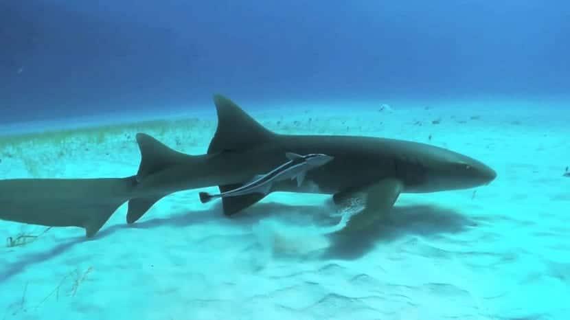 Alimentación del tiburón lima