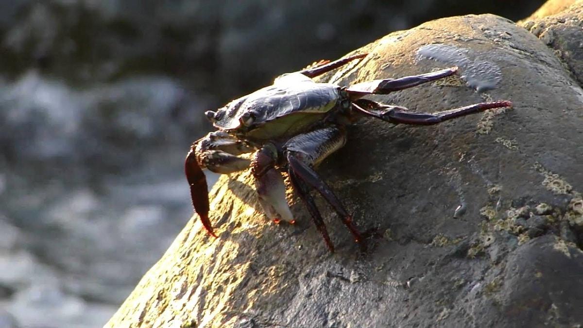 Cangrejo de mar en la roca