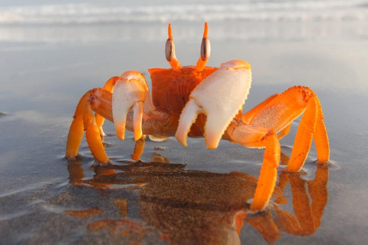 Cangrejo de mar y características