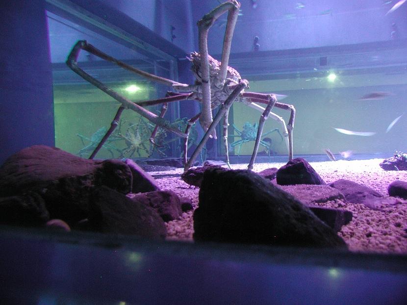 características del cangrejo araña japones