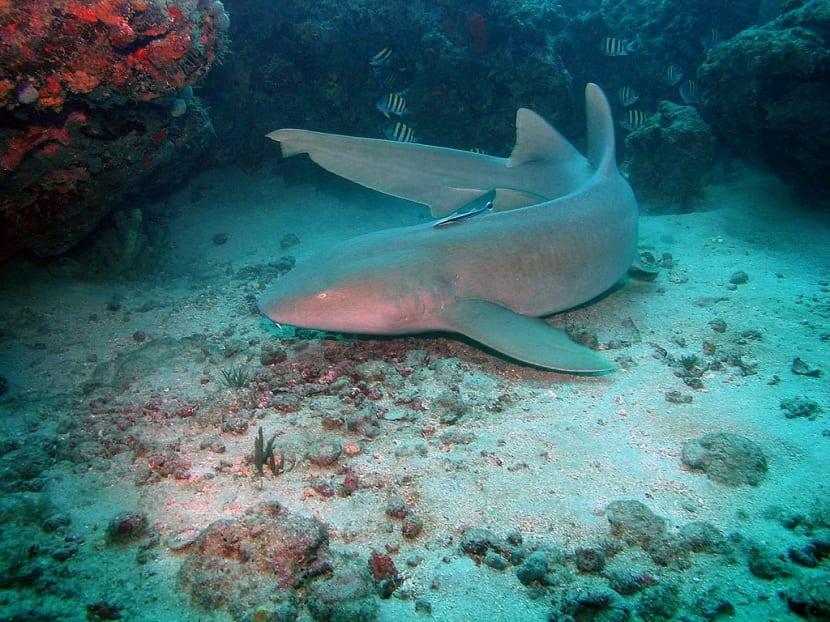 Tiburón gato en las profundidades