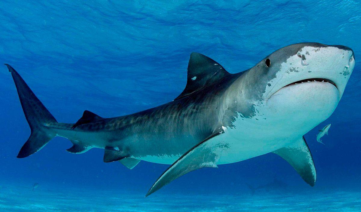 El tiburón más grande del mundo