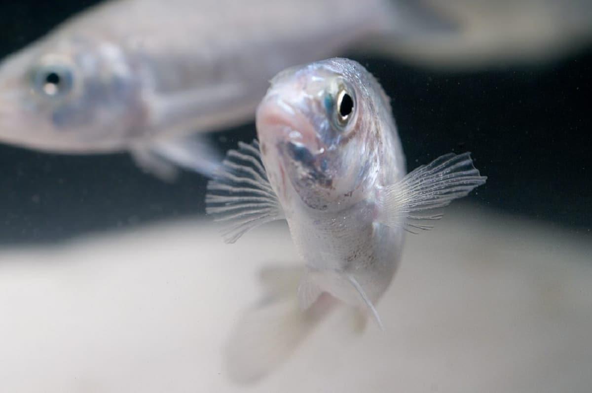 peces comunicándose