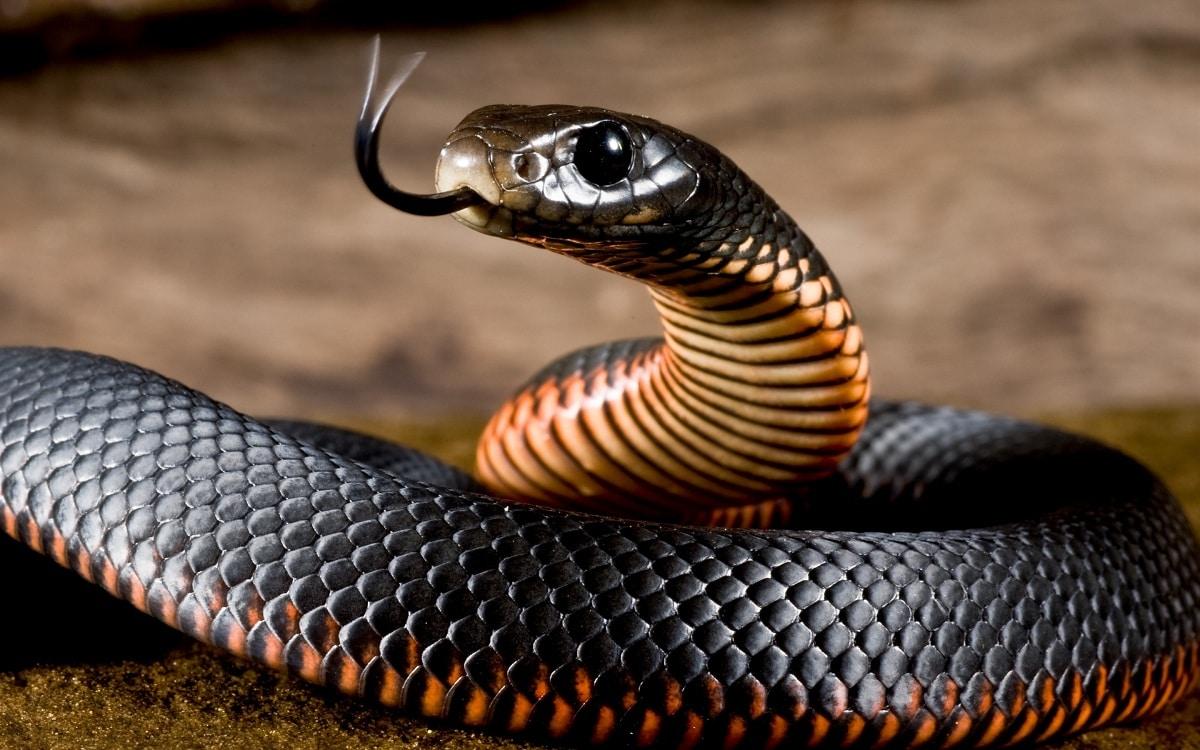 Alimentación de la serpiente negra