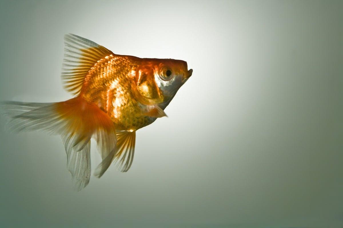 Identificacion del pez guppy