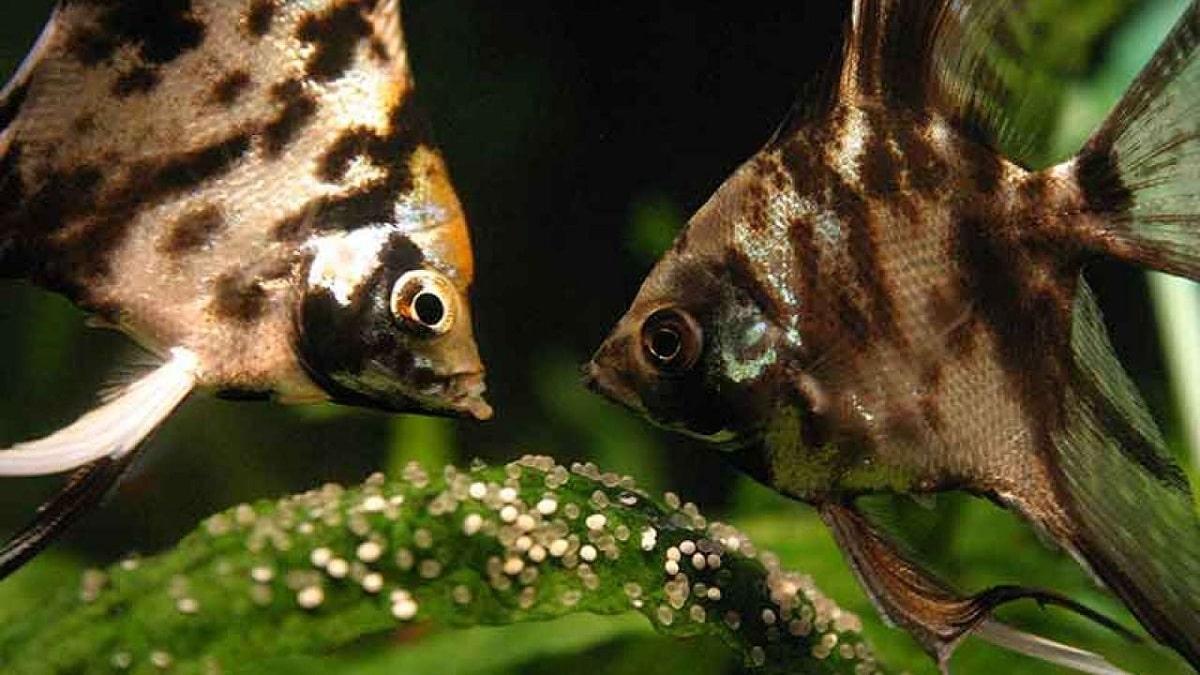 Tipos de reproducción de peces