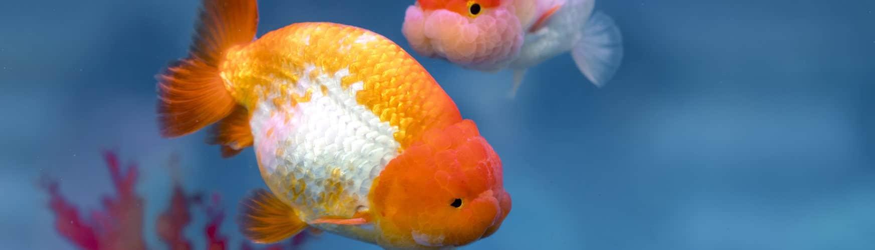 remedios curativos para los peces con hongos en casa