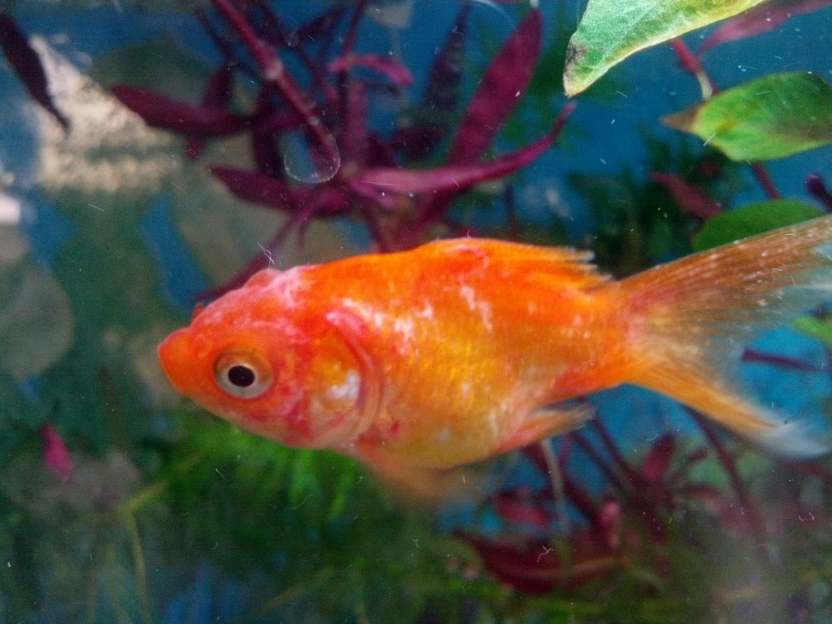 remedios curativos para los peces con hongos