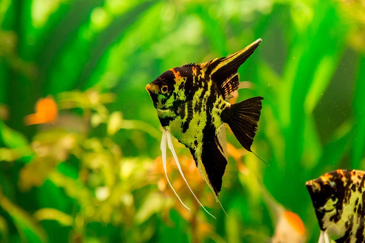 Cuántos peces se pueden meter en el acuario