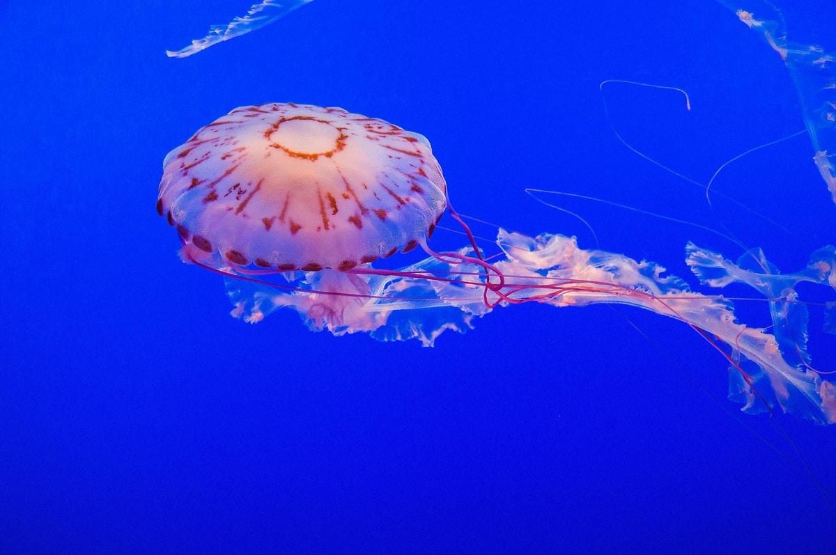 fases polipo y medusa