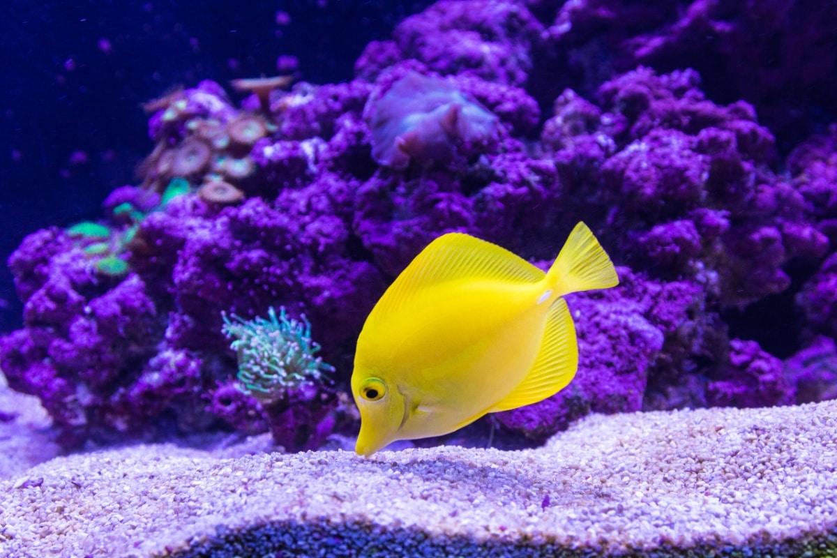 Un pez amarillo