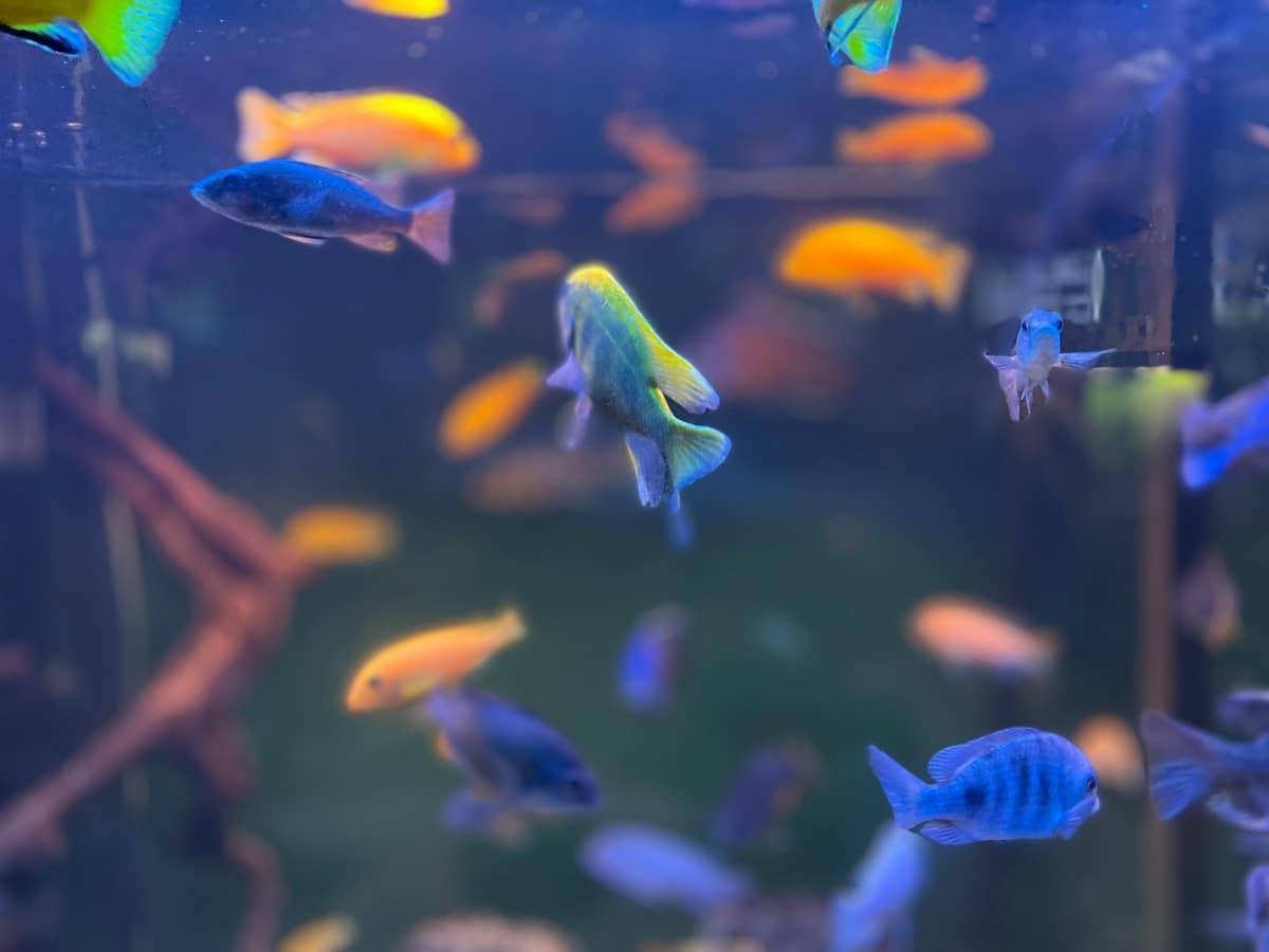 Un montón de peces azules en un acuario