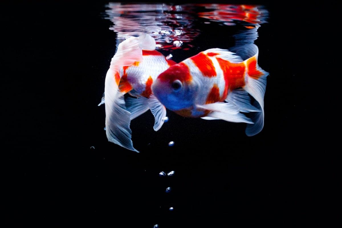 Peces nadando en un acuario