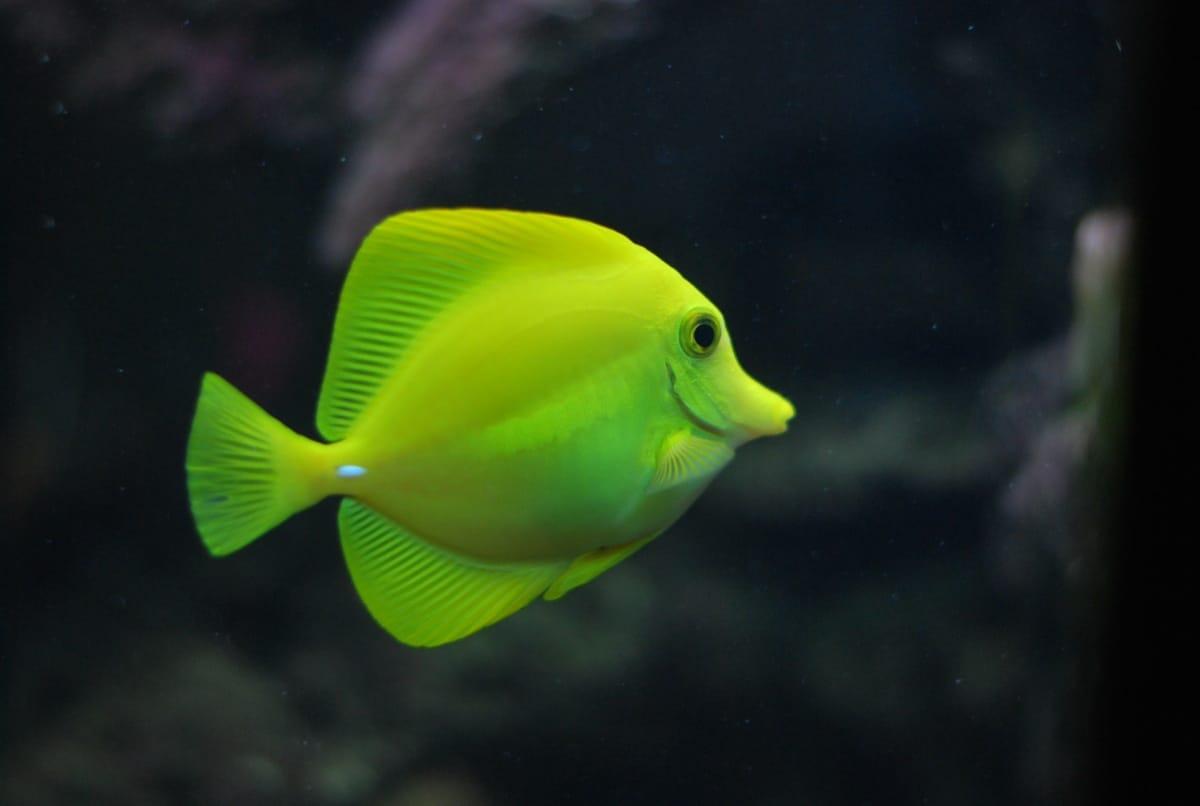 Un pez amarillo pasea por un acuario