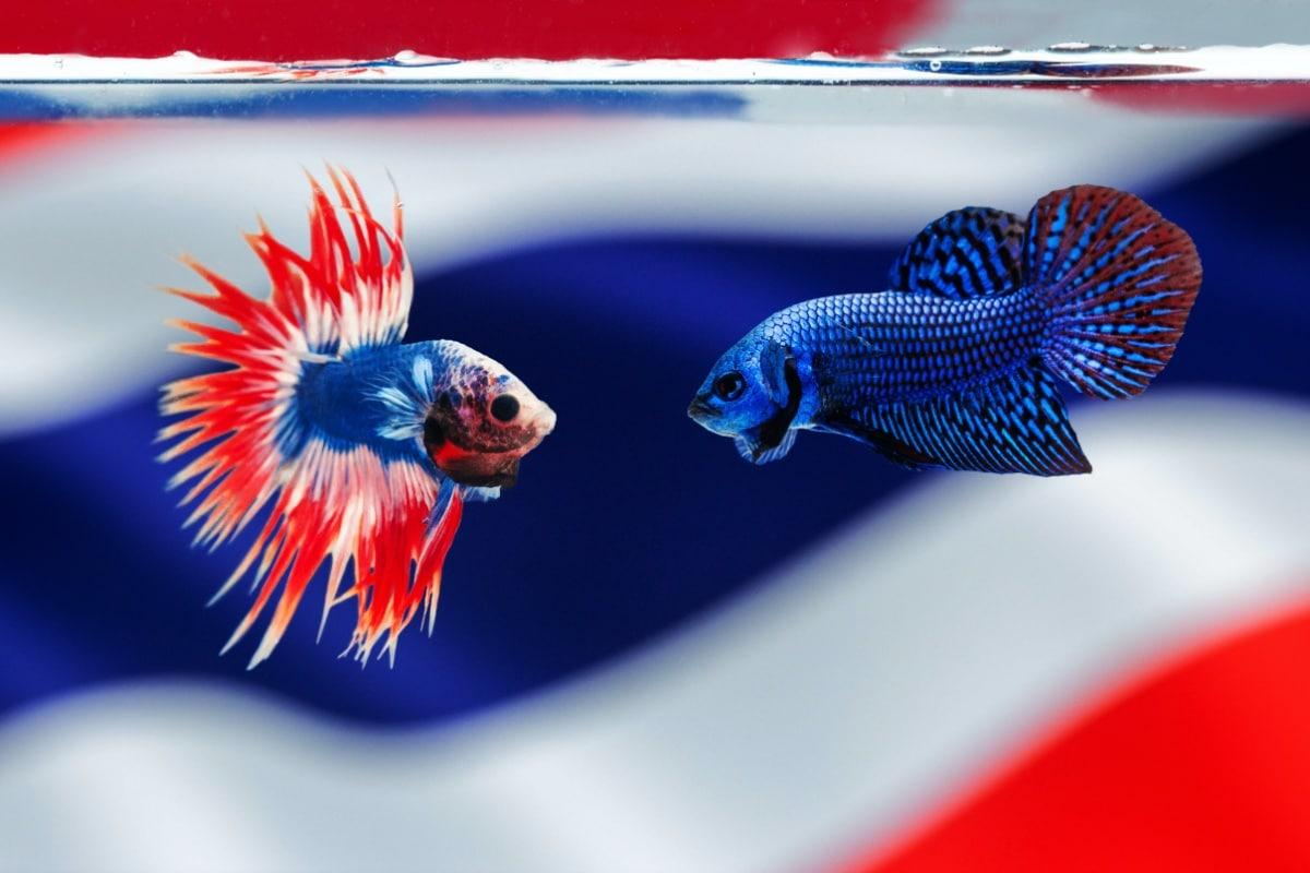 Dos peces encarados en un acuario