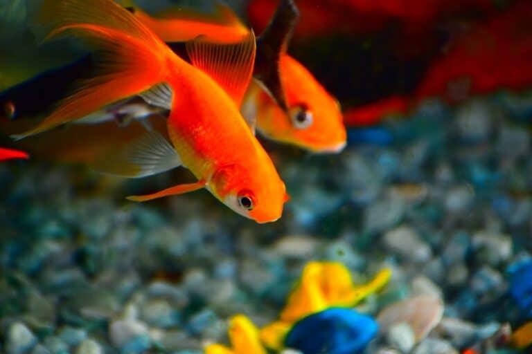 Hay que calcular cuanta grava vas a poner en el fondo para saber cuántos peces te pueden caber