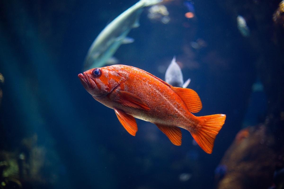 Un pez naranja en una pecera