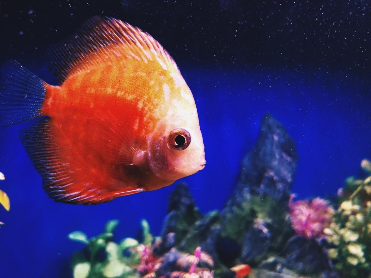 Un pez naranja en el agua