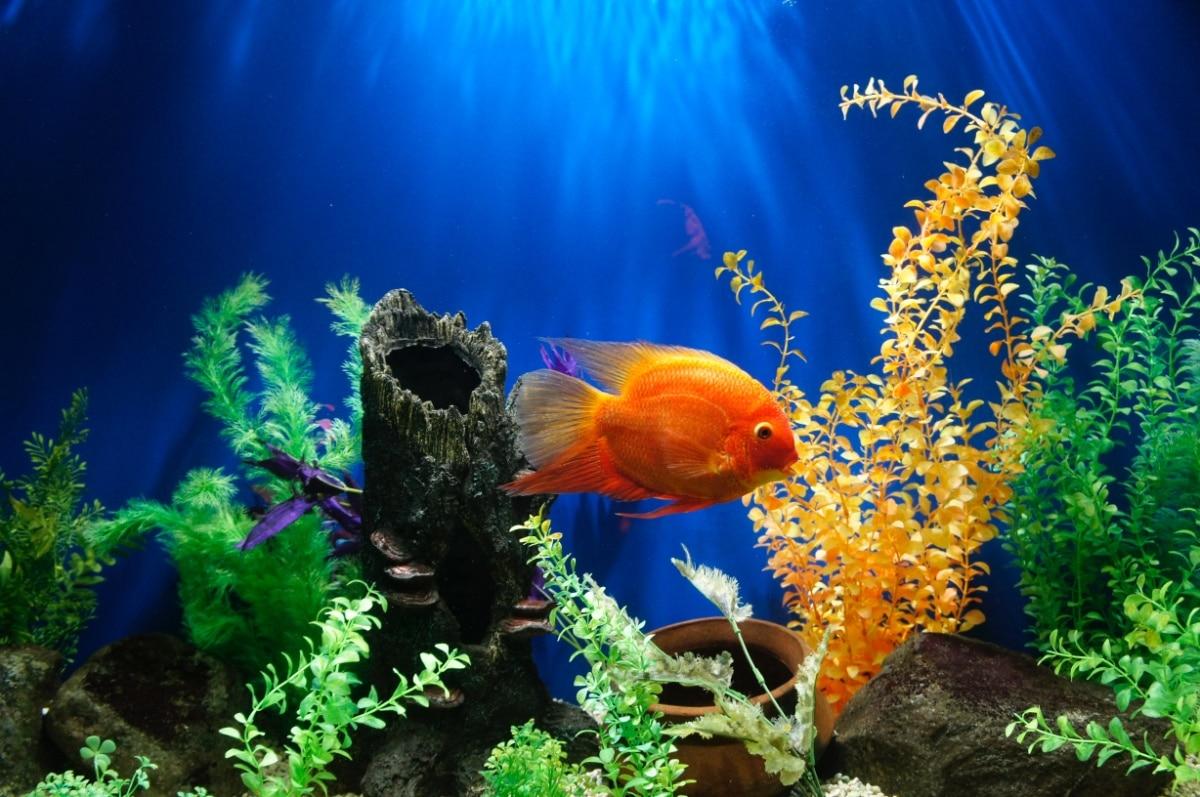 Un pez naranja en agua de osmosis