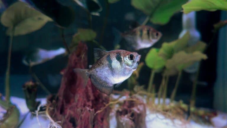 Sifonar consiste en limpiar el fondo del acuario aspirando