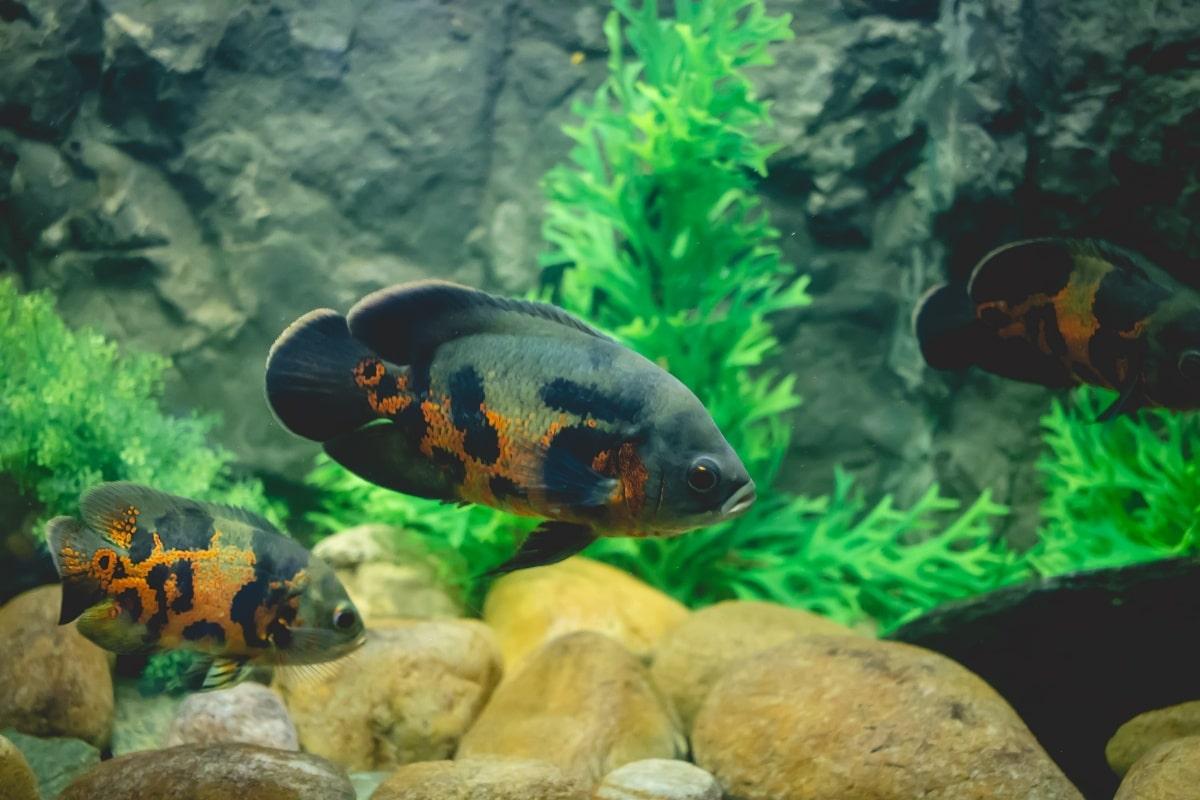 Peces negros y naranjas nadando