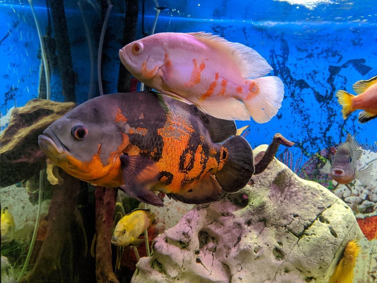 Dos grandes peces
