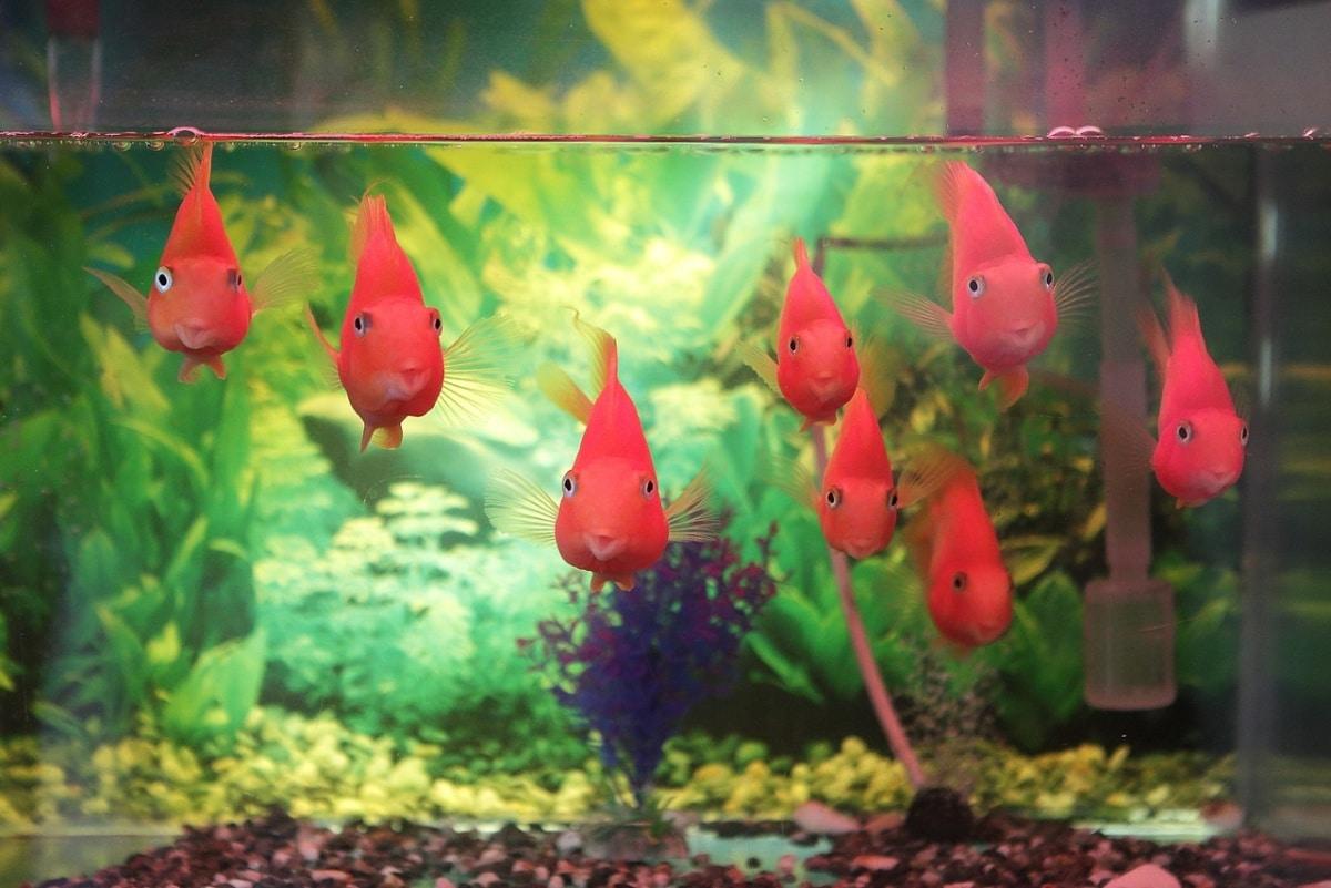 Un montón de peces rjos en un acuario