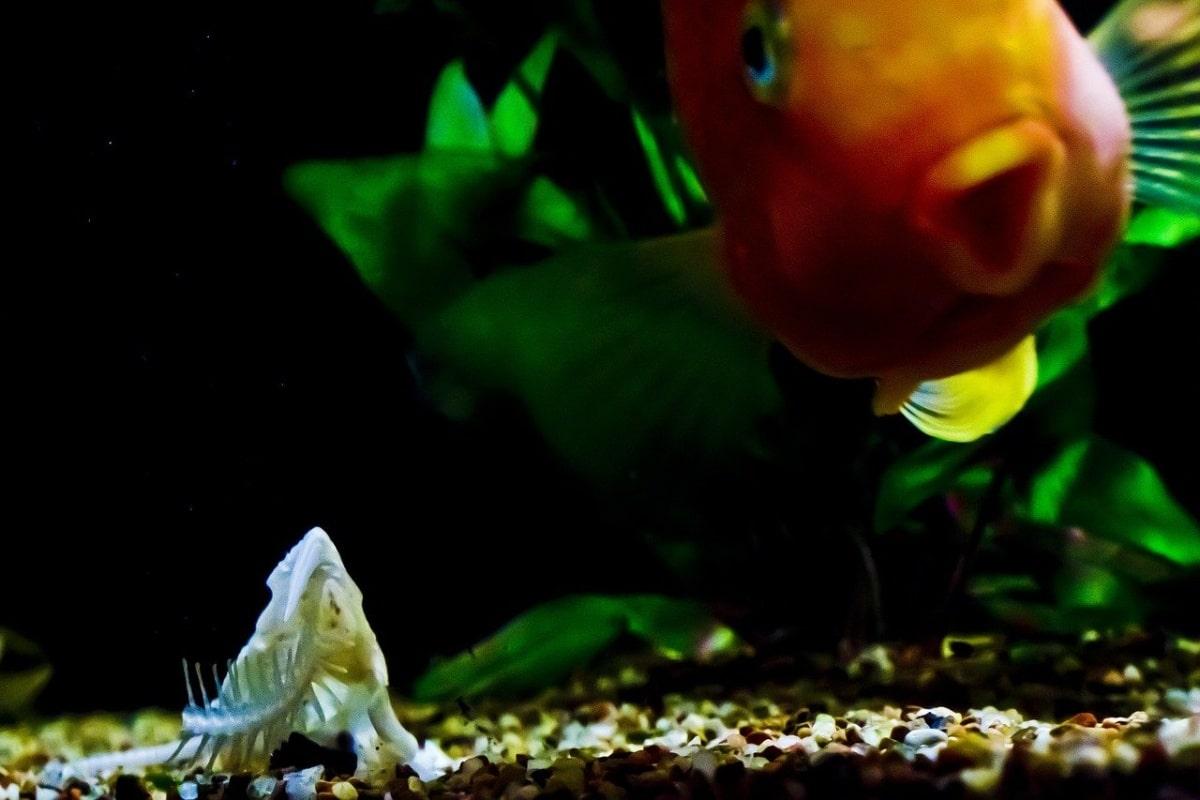 Primer plano de un pez naranja