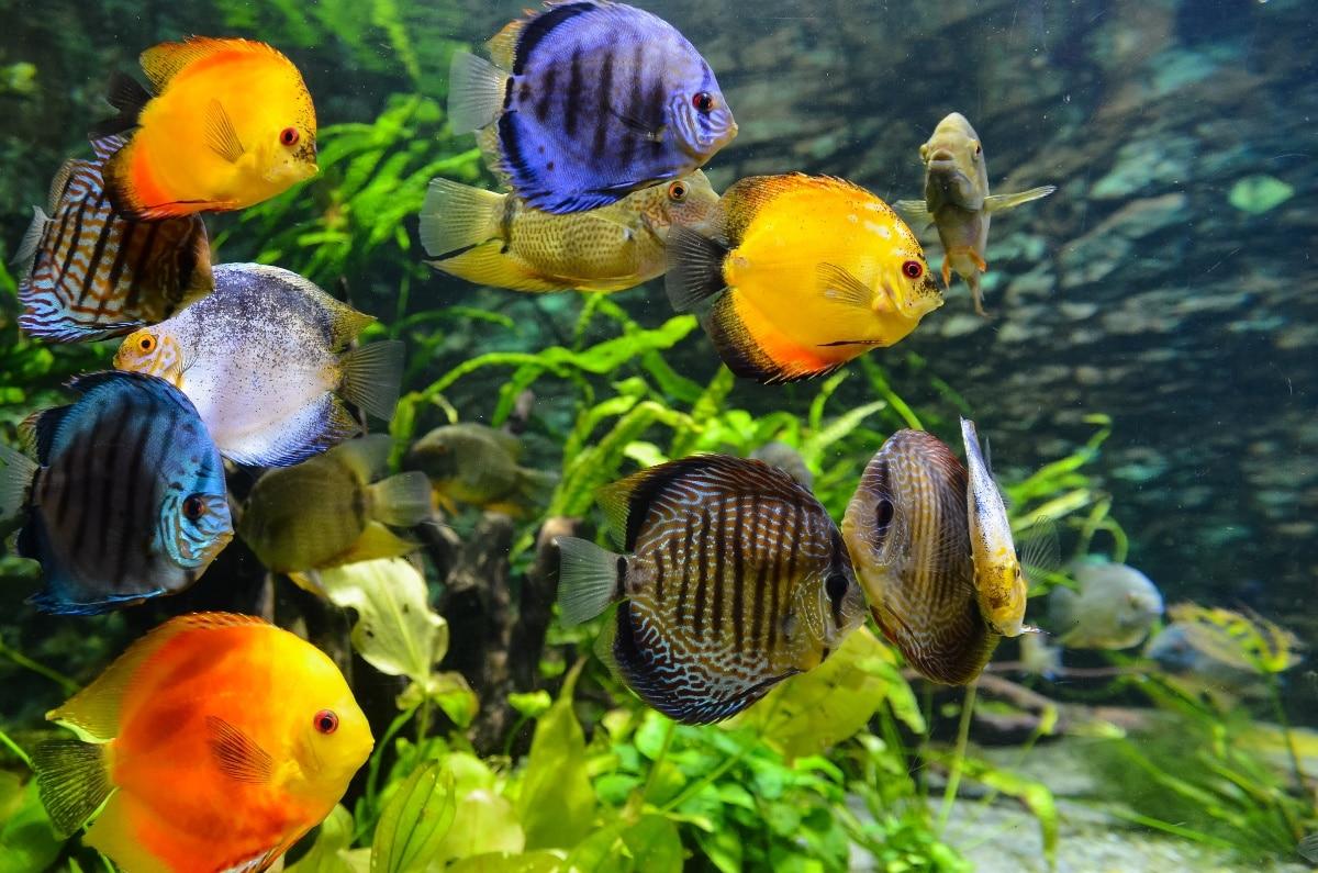 Peces nadando entre las plantas de su acuario