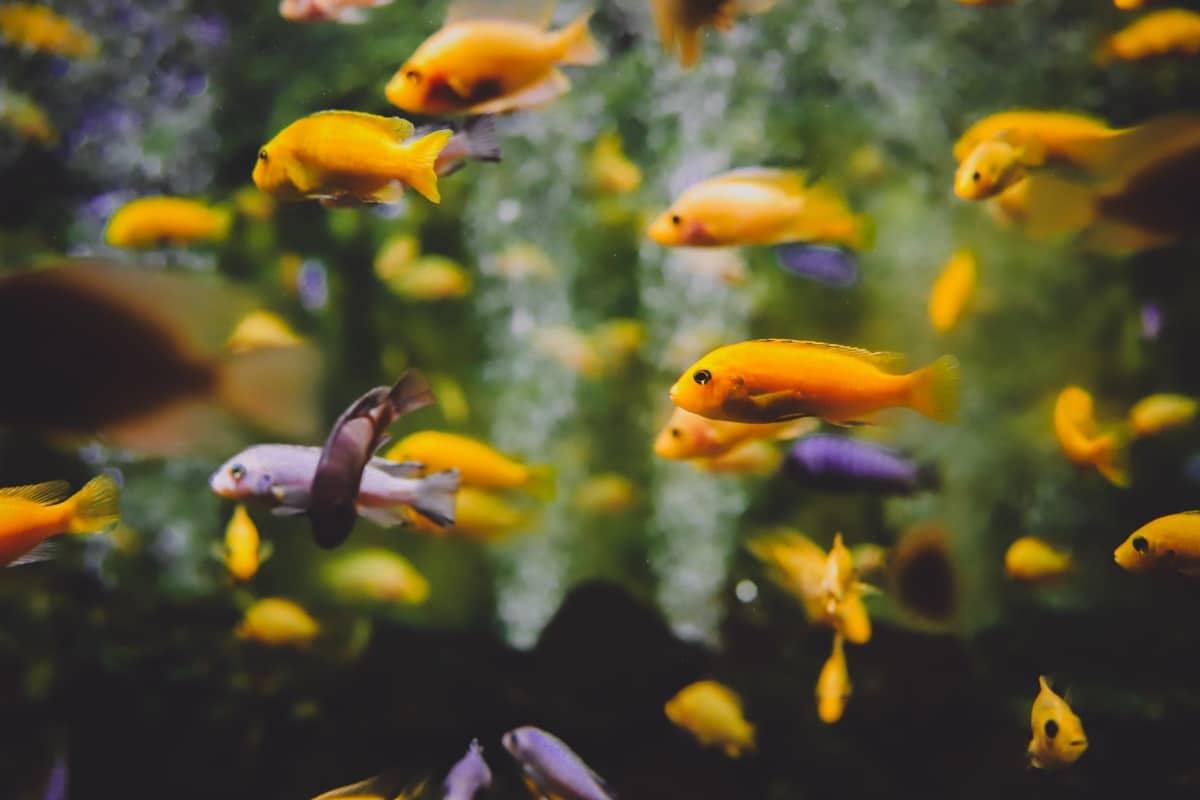 Peces naranjas nadando en tropel